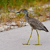 Yellow-crowned Night-heron  -  juvenile