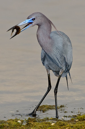 Little Blue Heron with a strange flat fish.