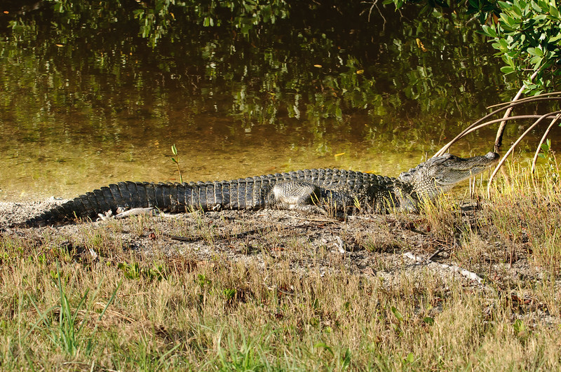 Alligator Sunning in Ding Darling