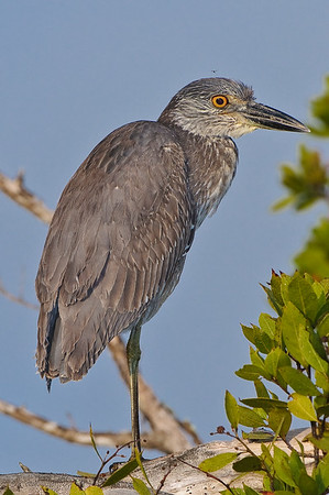 Immature Yellow Crowned Night Heron (I think)