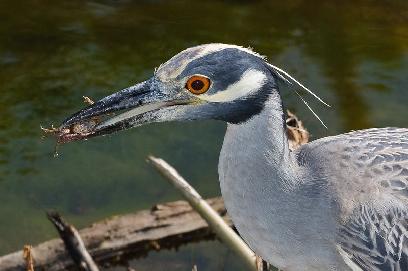 Yellow Crowned Night Heron enjoying a lunch of fiddler crabs