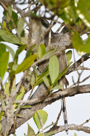 The elusive mangrove cuckoo would not come out of the leaves so all I got were these poor shots.