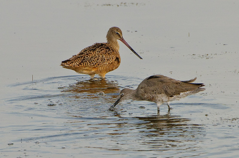 Marbled Godwit eyes a Willet