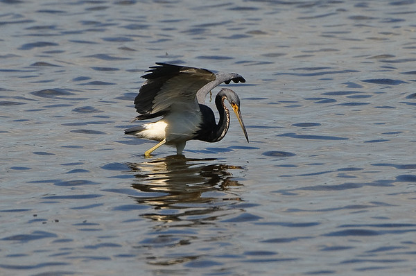 Tri-color heron that I think was taught to fish by the reddish egret