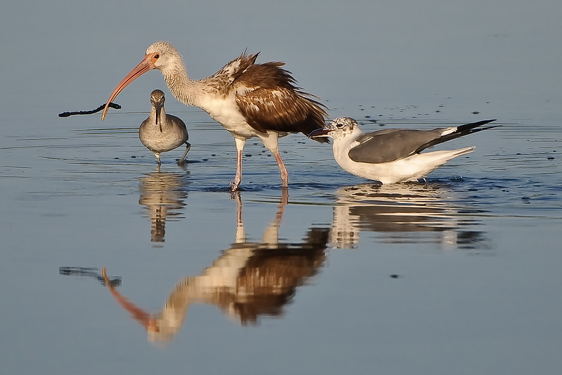These two gulls stayed right next to the ibis until it would come up with food, then would try to grab it.