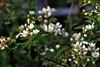 Wild_Blackberry_Bloom