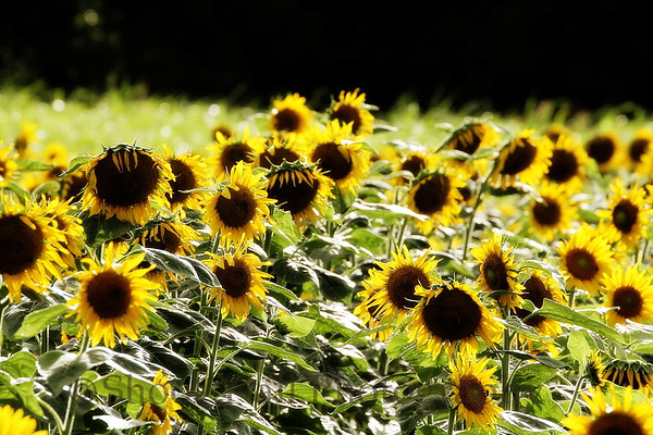 Field_of_Sunshine