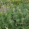 Most likely streambank lupine (Lupinus rivularis).