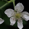 Himalayan blackberry (Rubus armeniacus). Like many plants in urbanized areas, this is nonnative.