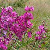 Everlasting pea (Lathyrus latifolius). Another nonnative, though not so aggressively invasive as the blackberry.
