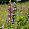 Large-leaved lupine (Lupinus polyphyllus).