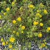 Puget Sound gumweed (Grindelia integrifolia).