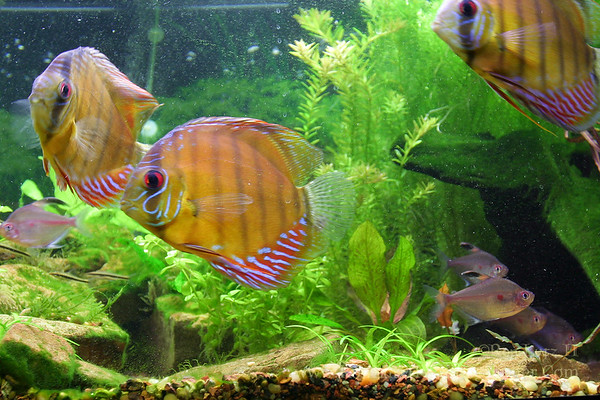 Brown Discus