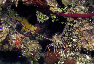 DSCF0174 lobster