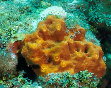 Brown Encrusting Sponge