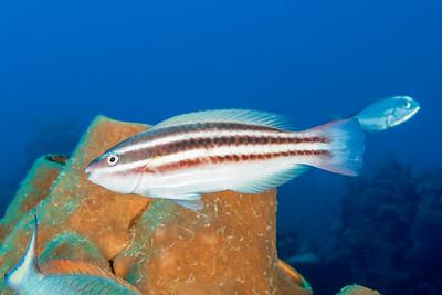 Princess Parrotfish, initial phase