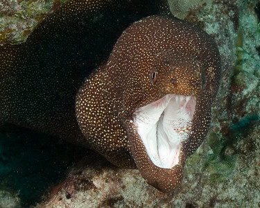 Surprisingly, this is a White Mouth moray