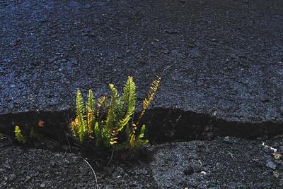 Fern growing in the caldera - a tough pioneer.