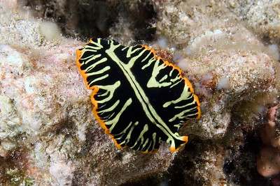 Divided Flatworm - this is maybe an inch long