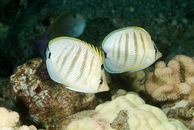 Pebbled butterfly fish. Like most butterfly fish, the stay in pairs.