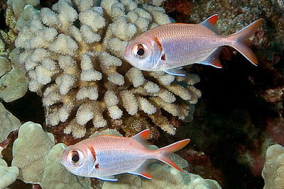 Epaulette Soldierfish -