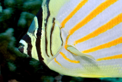 Ornate Butterfly fish - normally more shy than this.