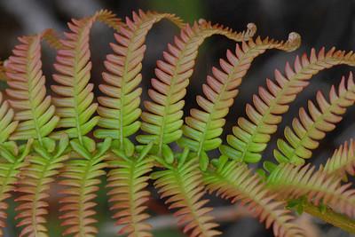 Fern leaf from Volcanoes National Park