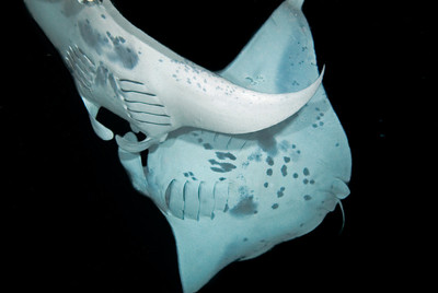 Mantas do collide, but only rarely when they come to feed during the manta night dive.