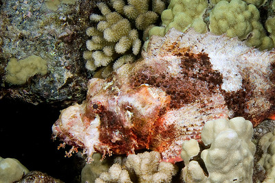 Scorpion fish - I have no idea as to which species.
