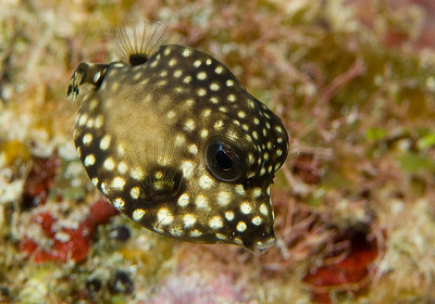 Smooth trunkfish juvenile  Lactophrys triqueter  5176