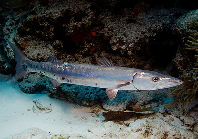 Great Barracuda Sphyraena barracuda 3380