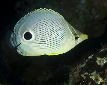 Foureye butterflyfish   Chaetodon capistratus 0939