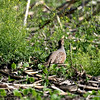 Gray Partridge