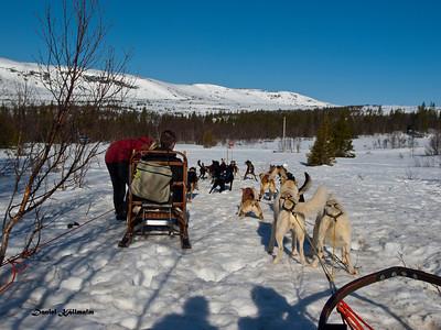 Dog sled in Åre