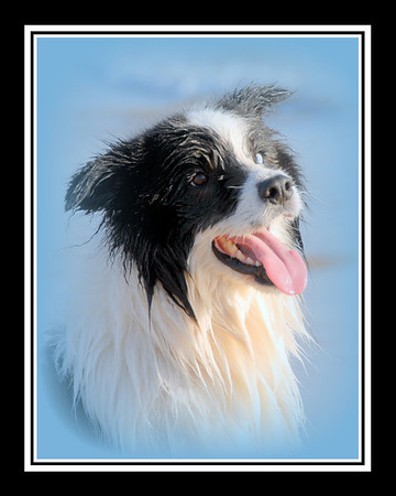 Border Collies before the Chicago Air Show - 2012 (print as 8x10 because of added border)