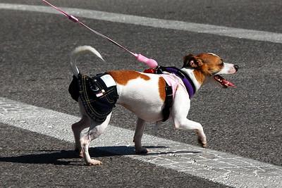 Dog in Old Settler's Day Parade, Marion, Kansas