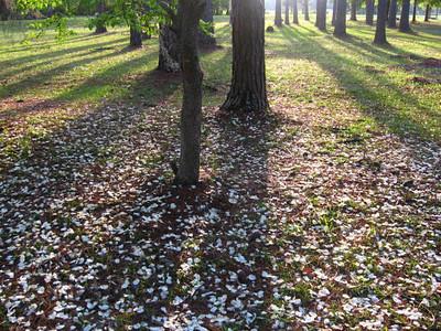 Dogwoods(Petal Rain)