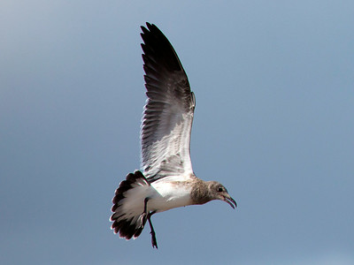 The Brown Gull comes in for a landing
