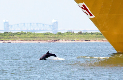 Closeup of Dolphin leaping in the bow wake of the Stolt Tanker