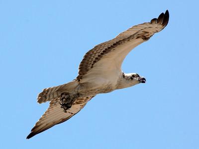 An Osprey passes overhead.