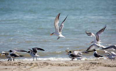 ... among more Royal Terns and Laughing Gulls.