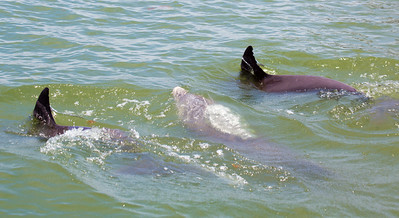 Now we meet Dolphins close up.  Two are diving; the middle one is surfacing.