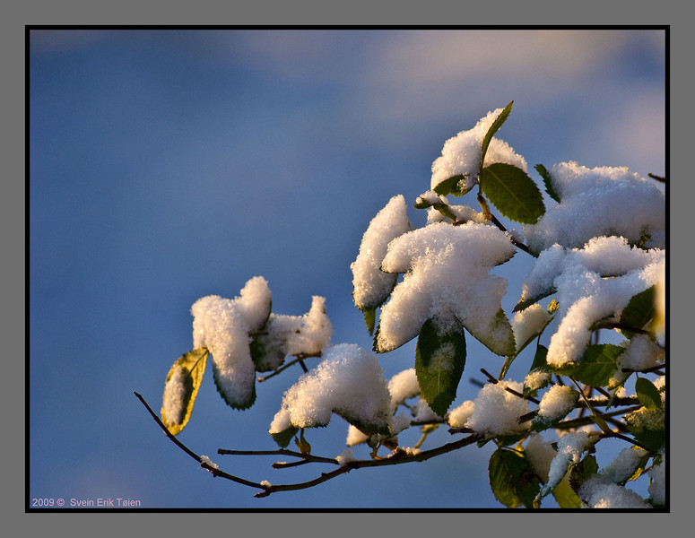 First autumn snow -III<br /> Rose bush in my garden, Bodø