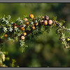 Juniper - ripe with berries