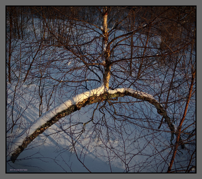 Birch tree arch<br /> Bodø backcountry