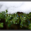 Chilled juniper<br /> The first snow melting slowly