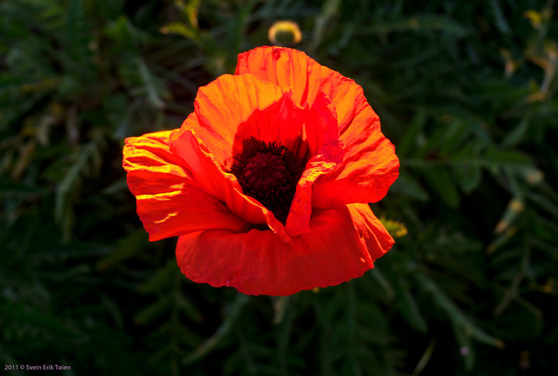 Poppy, Mälaren, Sweden
