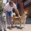 2 Husky/Chow mixes spot a Rotweiller on the opposite side of the street. Outside Freedom Of Espresso (North side) Syracuse,NY.