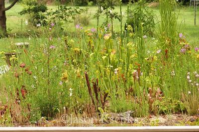 Bog garden; Farmingdale, New Jersey  2017-07-06   43