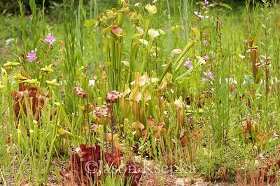 Bog garden; Farmingdale, New Jersey  2017-07-06   46